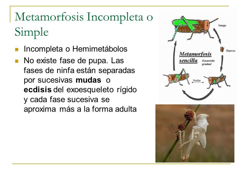 Metamorfosis Incompleta o Simple Incompleta o Hemimetábolos No existe fase de pupa. Las fases de ninfa están separadas por sucesivas mudas o ecdisis d
