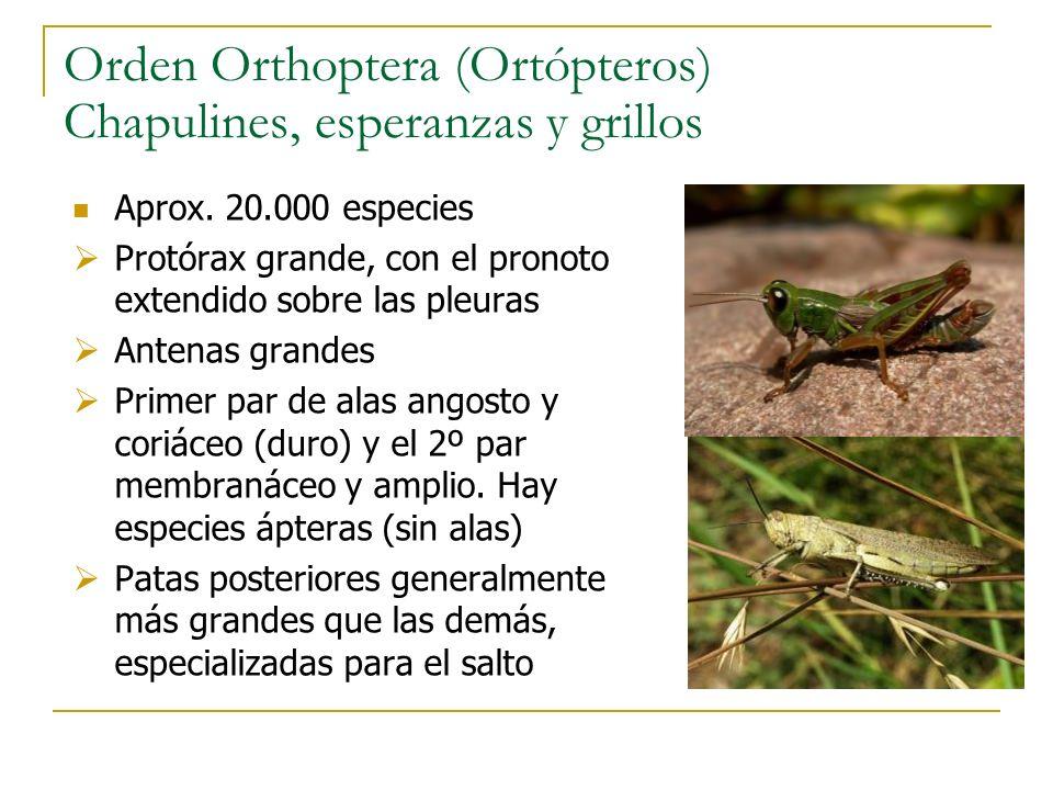 Orden Orthoptera (Ortópteros) Chapulines, esperanzas y grillos Aprox. 20.000 especies Protórax grande, con el pronoto extendido sobre las pleuras Ante