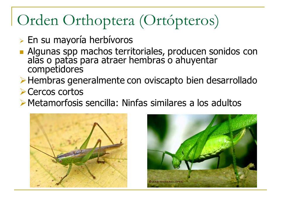 Orden Orthoptera (Ortópteros) En su mayoría herbívoros Algunas spp machos territoriales, producen sonidos con alas o patas para atraer hembras o ahuye