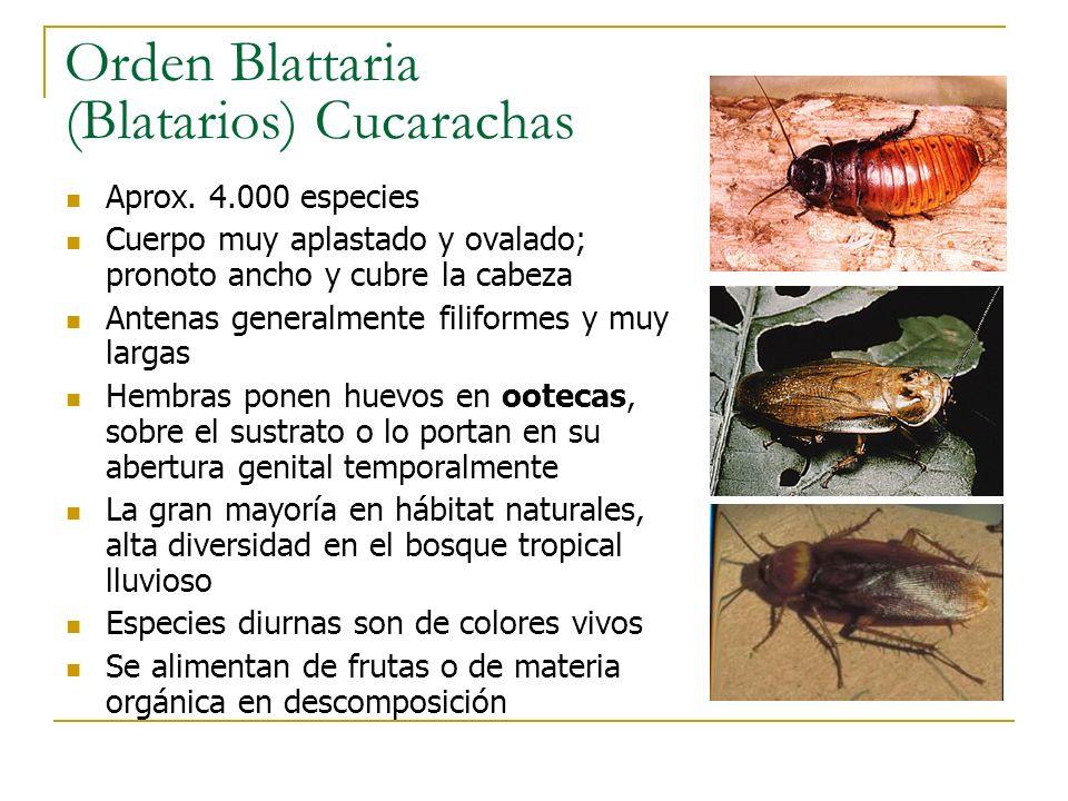 Orden Blattaria (Blatarios) Cucarachas Aprox. 4.000 especies Cuerpo muy aplastado y ovalado; pronoto ancho y cubre la cabeza Antenas generalmente fili