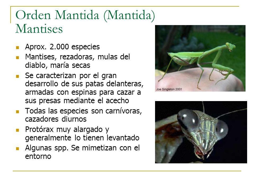 Orden Mantida (Mantida) Mantises Aprox. 2.000 especies Mantises, rezadoras, mulas del diablo, maría secas Se caracterizan por el gran desarrollo de su