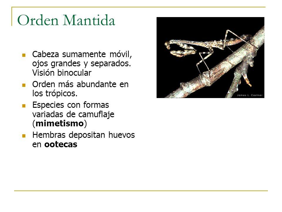 Orden Mantida Cabeza sumamente móvil, ojos grandes y separados. Visión binocular Orden más abundante en los trópicos. Especies con formas variadas de