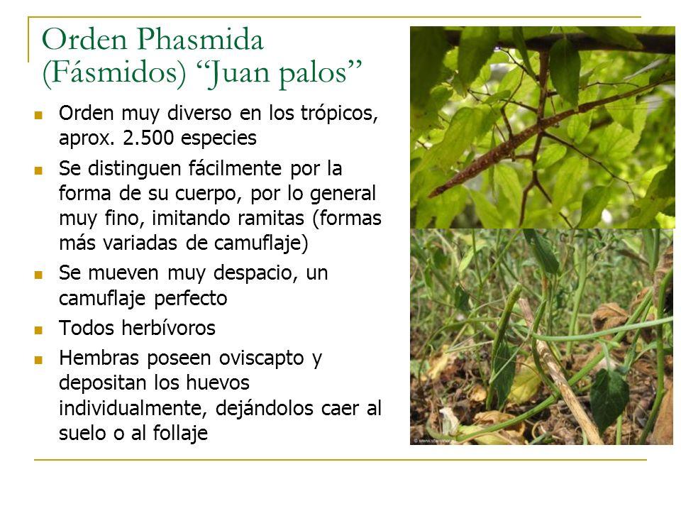Orden Phasmida (Fásmidos) Juan palos Orden muy diverso en los trópicos, aprox. 2.500 especies Se distinguen fácilmente por la forma de su cuerpo, por