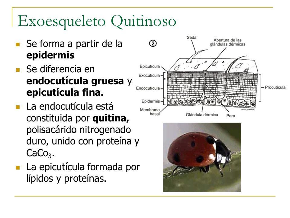 Exoesqueleto Quitinoso Se forma a partir de la epidermis Se diferencia en endocutícula gruesa y epicutícula fina. La endocutícula está constituida por