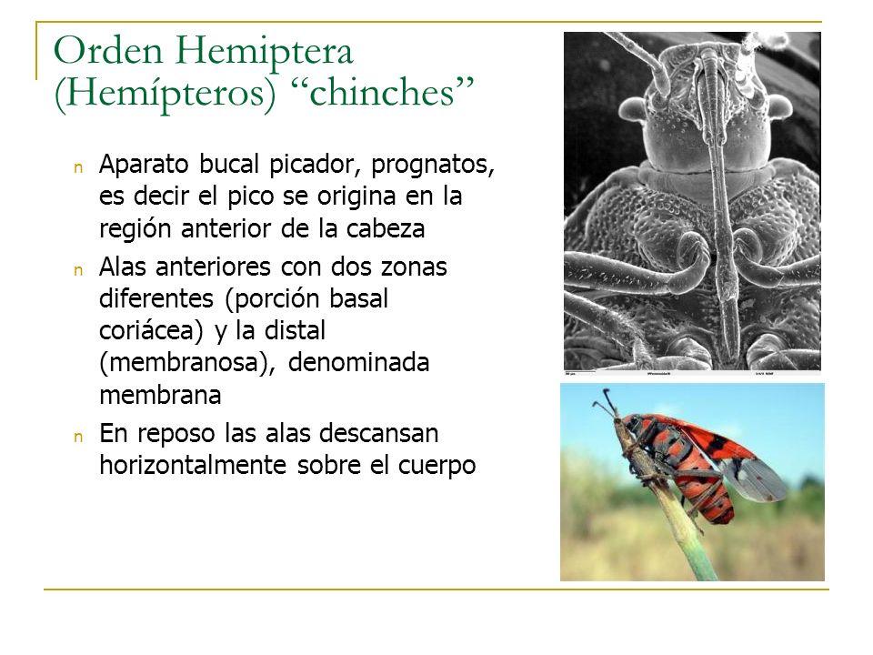 Orden Hemiptera (Hemípteros) chinches n Aparato bucal picador, prognatos, es decir el pico se origina en la región anterior de la cabeza n Alas anteri