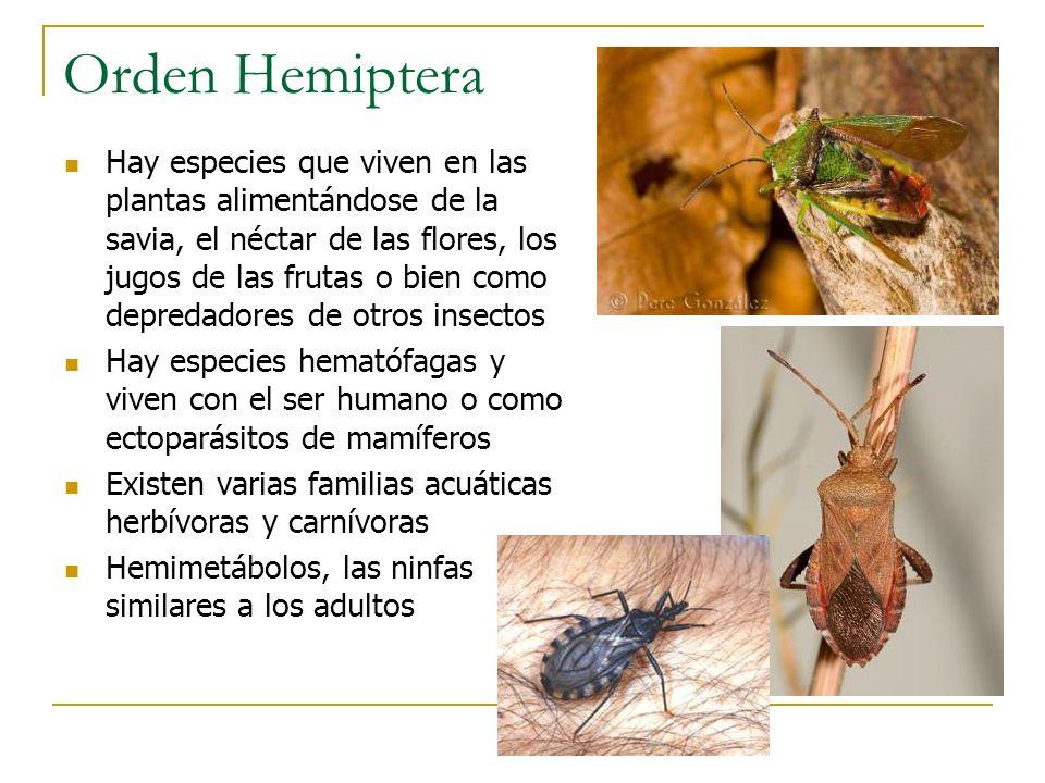 Orden Hemiptera Hay especies que viven en las plantas alimentándose de la savia, el néctar de las flores, los jugos de las frutas o bien como depredad