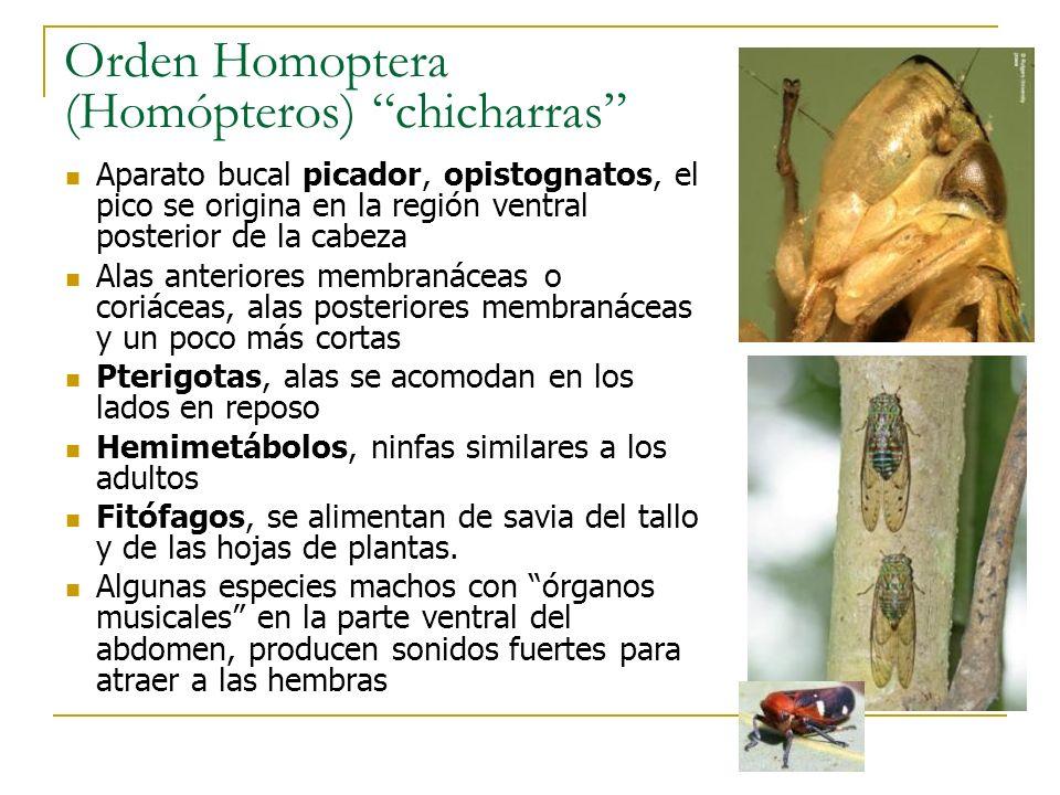 Orden Homoptera (Homópteros) chicharras Aparato bucal picador, opistognatos, el pico se origina en la región ventral posterior de la cabeza Alas anter
