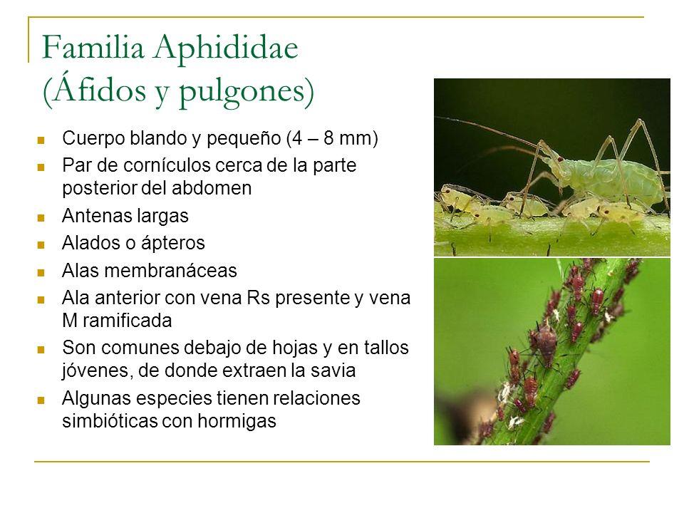 Familia Aphididae (Áfidos y pulgones) Cuerpo blando y pequeño (4 – 8 mm) Par de cornículos cerca de la parte posterior del abdomen Antenas largas Alad