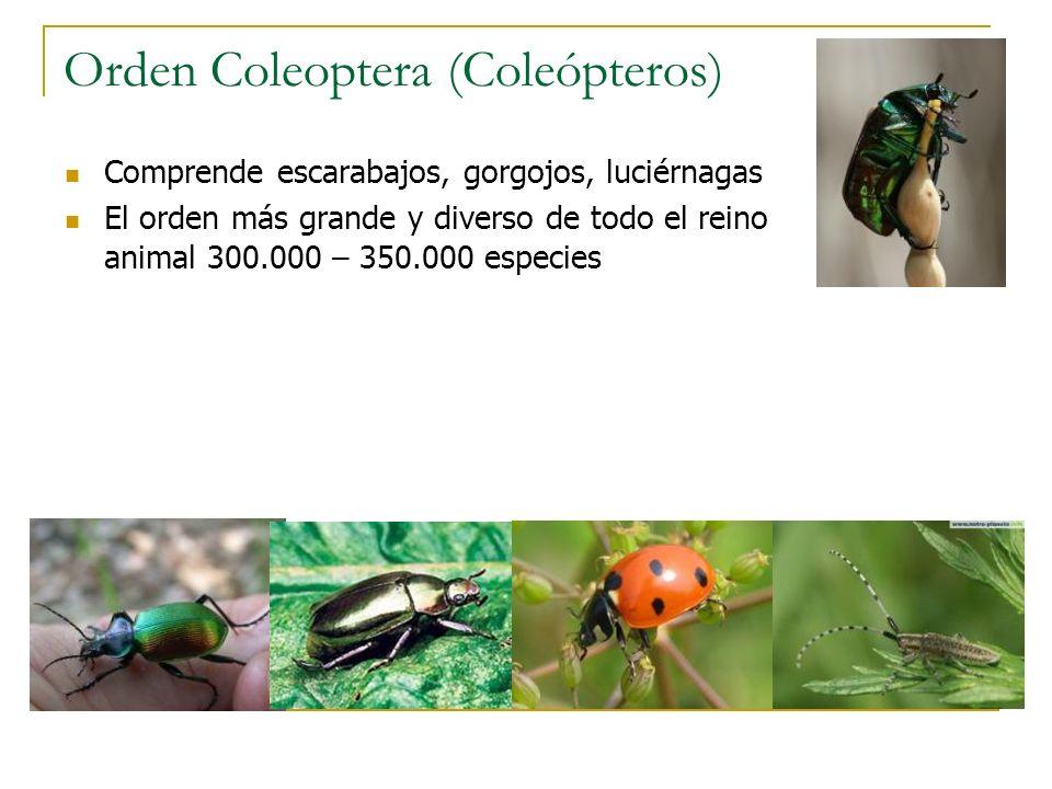 Orden Coleoptera (Coleópteros) Comprende escarabajos, gorgojos, luciérnagas El orden más grande y diverso de todo el reino animal 300.000 – 350.000 es