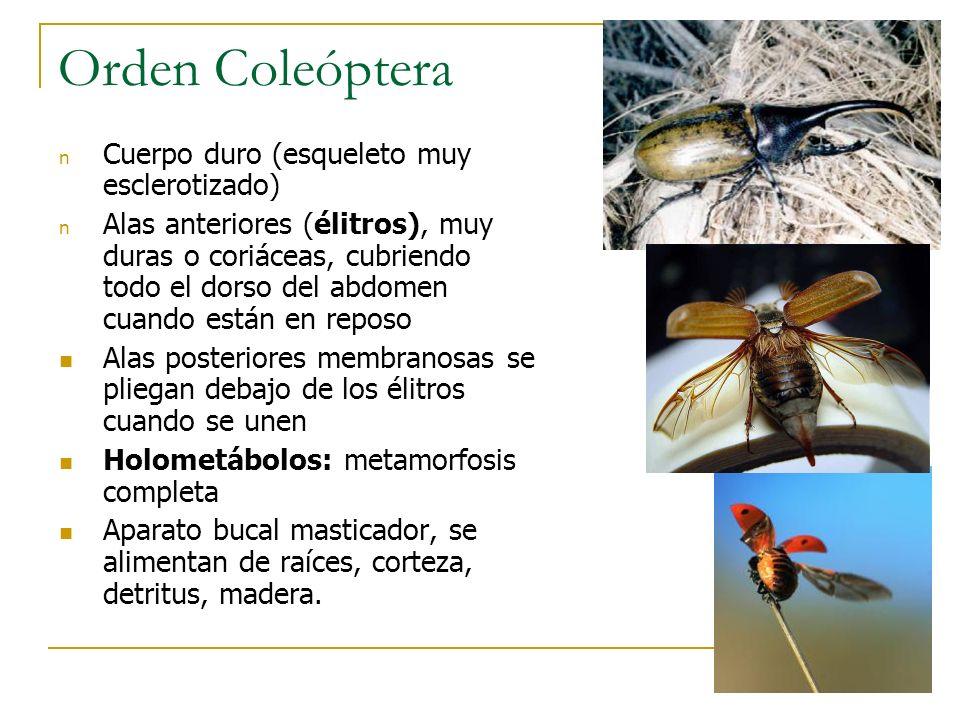 Orden Coleóptera n Cuerpo duro (esqueleto muy esclerotizado) n Alas anteriores (élitros), muy duras o coriáceas, cubriendo todo el dorso del abdomen c