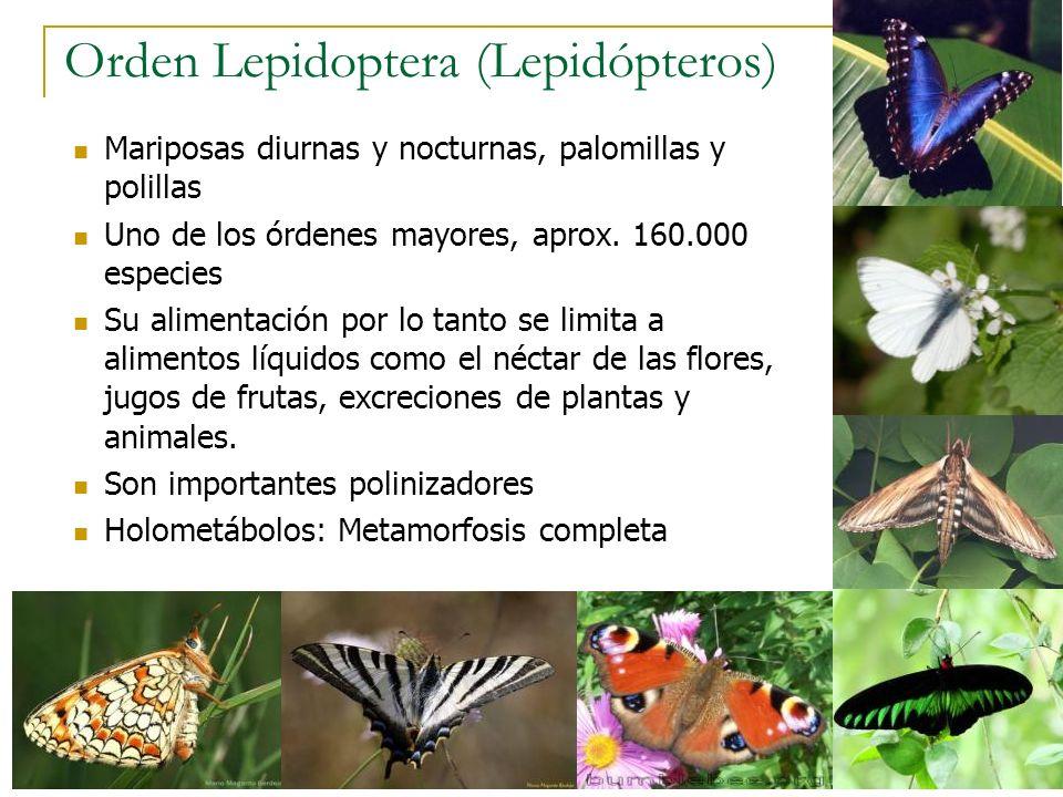 Orden Lepidoptera (Lepidópteros) Mariposas diurnas y nocturnas, palomillas y polillas Uno de los órdenes mayores, aprox. 160.000 especies Su alimentac