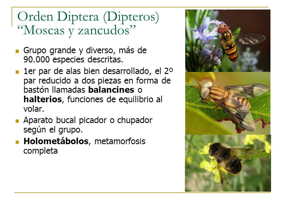 Orden Diptera (Dipteros) Moscas y zancudos Grupo grande y diverso, más de 90.000 especies descritas. 1er par de alas bien desarrollado, el 2º par redu