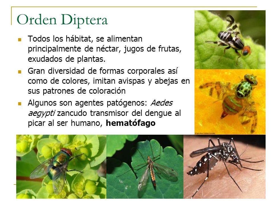 Orden Diptera Todos los hábitat, se alimentan principalmente de néctar, jugos de frutas, exudados de plantas. Gran diversidad de formas corporales así