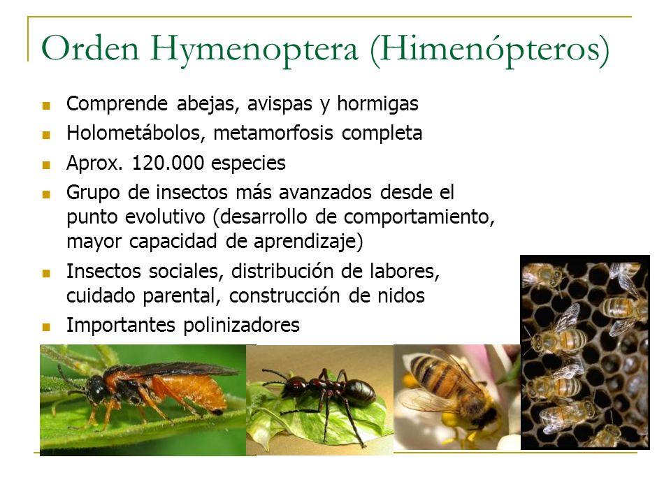 Orden Hymenoptera (Himenópteros) Comprende abejas, avispas y hormigas Holometábolos, metamorfosis completa Aprox. 120.000 especies Grupo de insectos m
