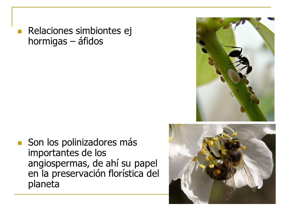 Relaciones simbiontes ej hormigas – áfidos Son los polinizadores más importantes de los angiospermas, de ahí su papel en la preservación florística de