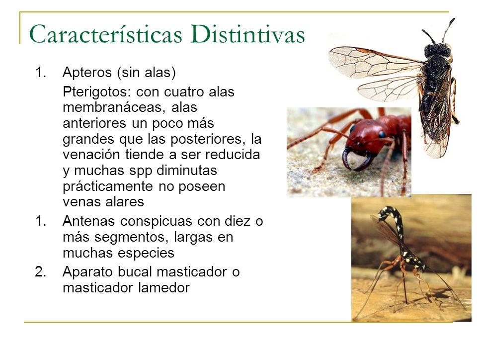 Características Distintivas 1.Apteros (sin alas) Pterigotos: con cuatro alas membranáceas, alas anteriores un poco más grandes que las posteriores, la
