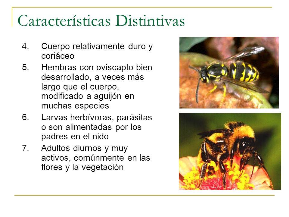 Características Distintivas 4.Cuerpo relativamente duro y coriáceo 5.Hembras con oviscapto bien desarrollado, a veces más largo que el cuerpo, modific