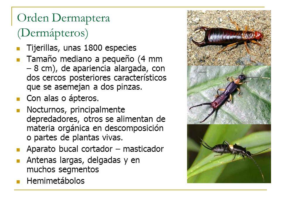 Orden Dermaptera (Dermápteros) Tijerillas, unas 1800 especies Tamaño mediano a pequeño (4 mm – 8 cm), de apariencia alargada, con dos cercos posterior