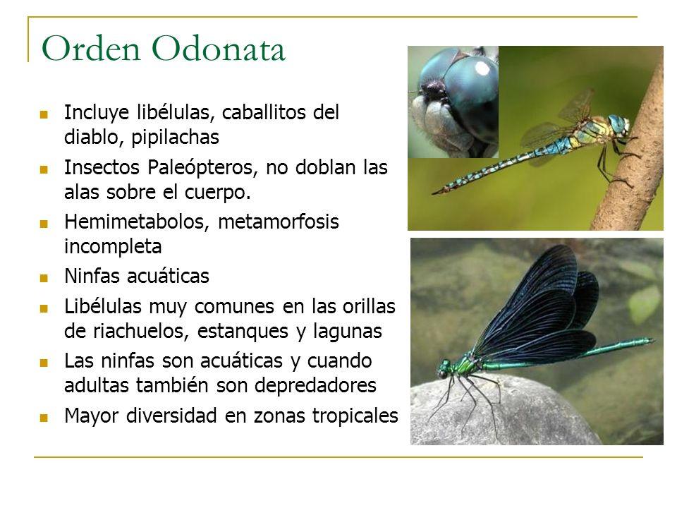 Orden Odonata Incluye libélulas, caballitos del diablo, pipilachas Insectos Paleópteros, no doblan las alas sobre el cuerpo. Hemimetabolos, metamorfos