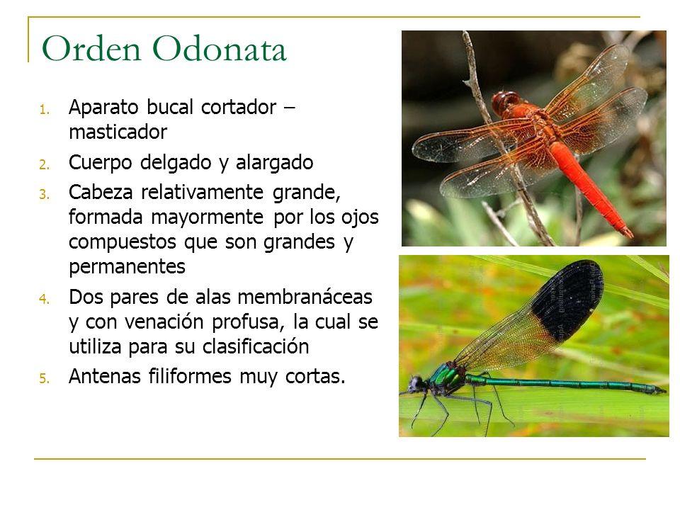 Orden Odonata 1. Aparato bucal cortador – masticador 2. Cuerpo delgado y alargado 3. Cabeza relativamente grande, formada mayormente por los ojos comp