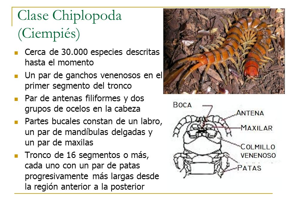 Clase Chiplopoda (Ciempiés) Cerca de 30.000 especies descritas hasta el momento Un par de ganchos venenosos en el primer segmento del tronco Par de an