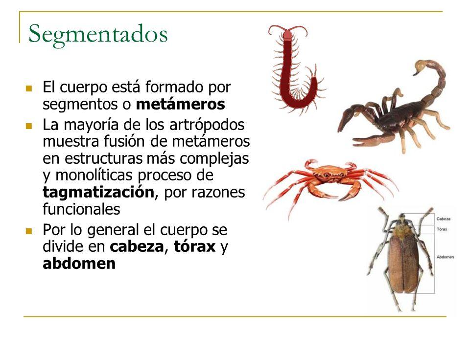 Tagmatización (Insectos)Tagmatización (Crustáceos) Tagmatización (Quelicerados)