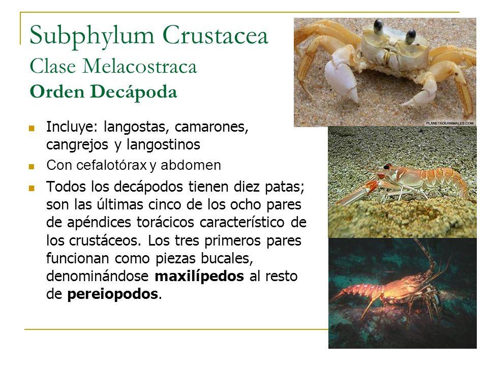 Subphylum Crustacea Clase Melacostraca Orden Decápoda Incluye: langostas, camarones, cangrejos y langostinos Con cefalotórax y abdomen Todos los decáp