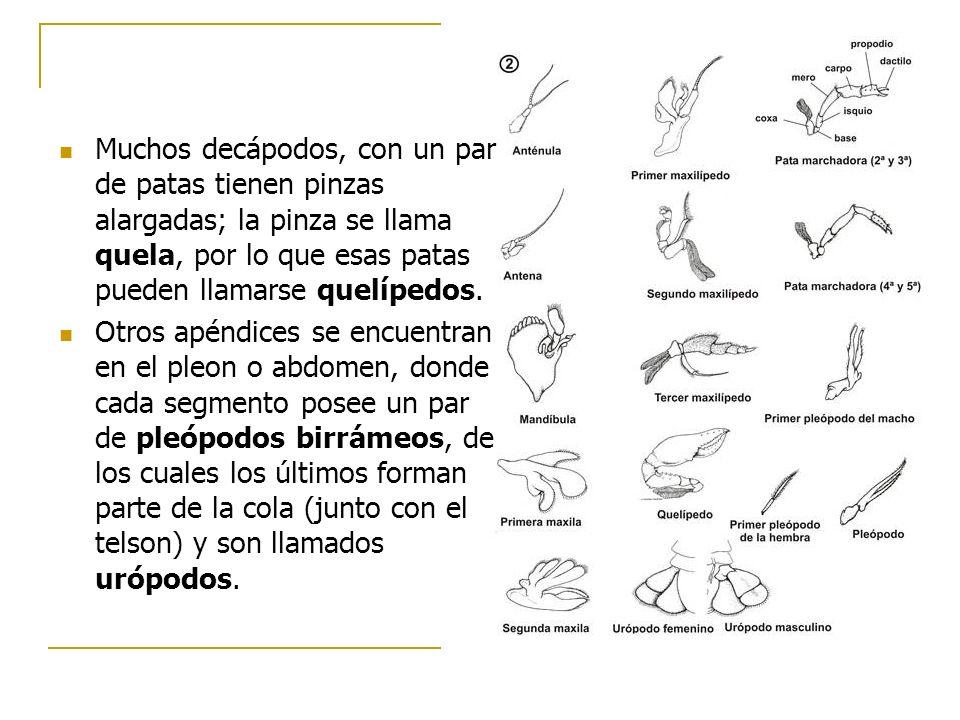 Muchos decápodos, con un par de patas tienen pinzas alargadas; la pinza se llama quela, por lo que esas patas pueden llamarse quelípedos. Otros apéndi