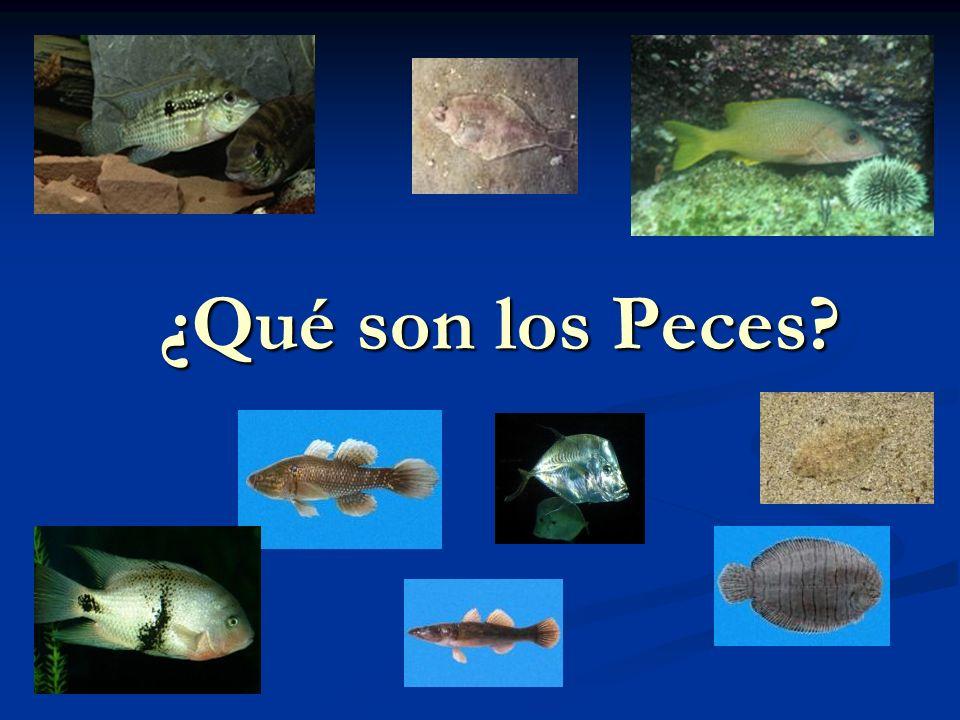 Familia Mugilidae Lisas Costa Rica 4 géneros y 5 spp.