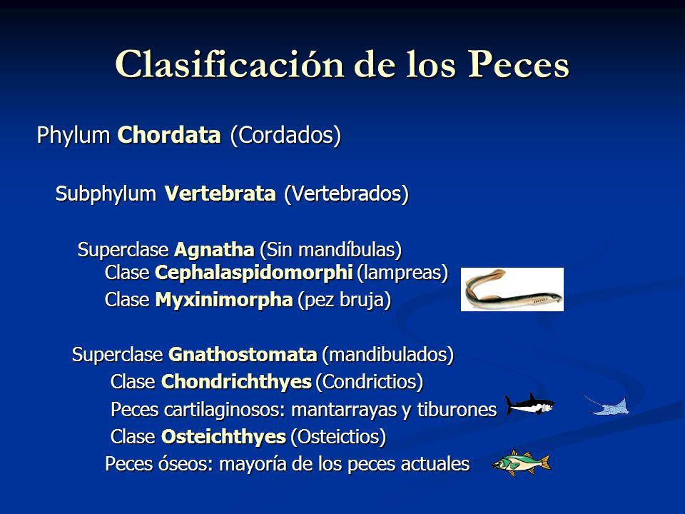 Phylum Chordata (Cordados) Subphylum Vertebrata (Vertebrados) Subphylum Vertebrata (Vertebrados) Superclase Agnatha (Sin mandíbulas) Clase Cephalaspidomorphi (lampreas) Superclase Agnatha (Sin mandíbulas) Clase Cephalaspidomorphi (lampreas) Clase Myxinimorpha (pez bruja) Superclase Gnathostomata (mandibulados) Superclase Gnathostomata (mandibulados) Clase Chondrichthyes (Condrictios) Clase Chondrichthyes (Condrictios) Peces cartilaginosos: mantarrayas y tiburones Peces cartilaginosos: mantarrayas y tiburones Clase Osteichthyes (Osteictios) Clase Osteichthyes (Osteictios) Peces óseos: mayoría de los peces actuales Clasificación de los Peces