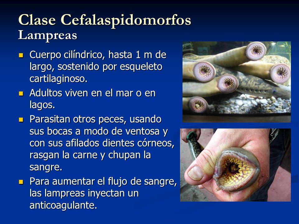 Clase Cefalaspidomorfos Lampreas Cuerpo cilíndrico, hasta 1 m de largo, sostenido por esqueleto cartilaginoso. Cuerpo cilíndrico, hasta 1 m de largo,