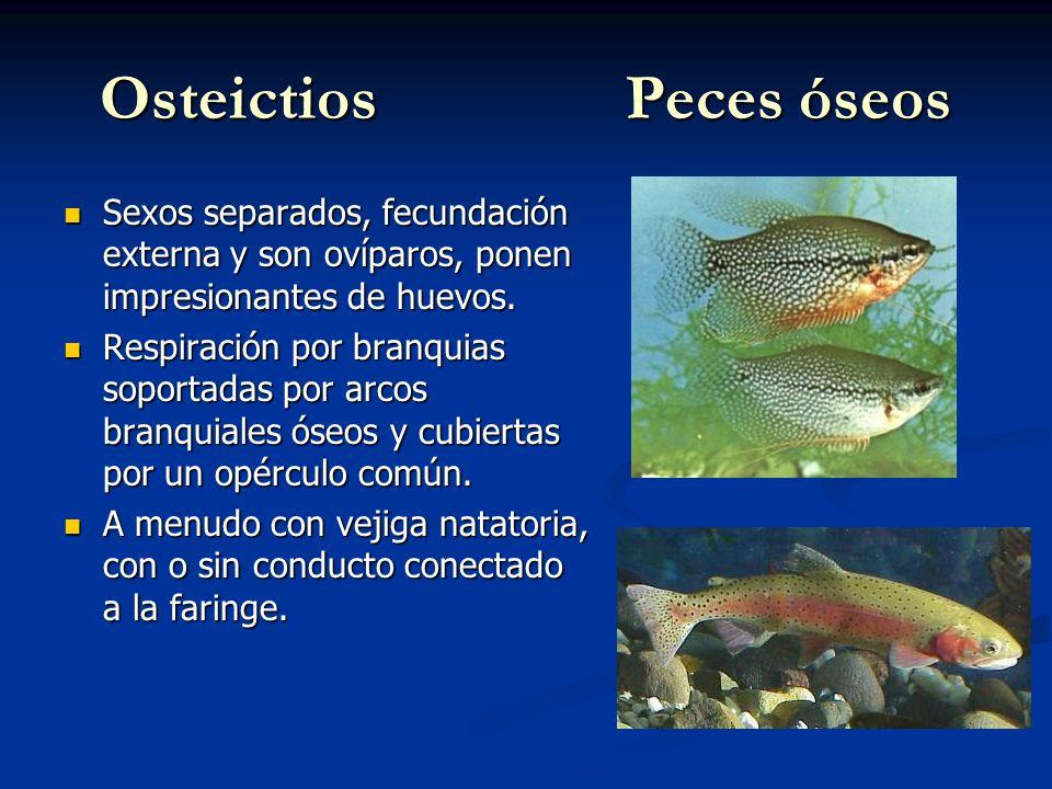 OsteictiosPeces óseos Sexos separados, fecundación externa y son ovíparos, ponen impresionantes de huevos.