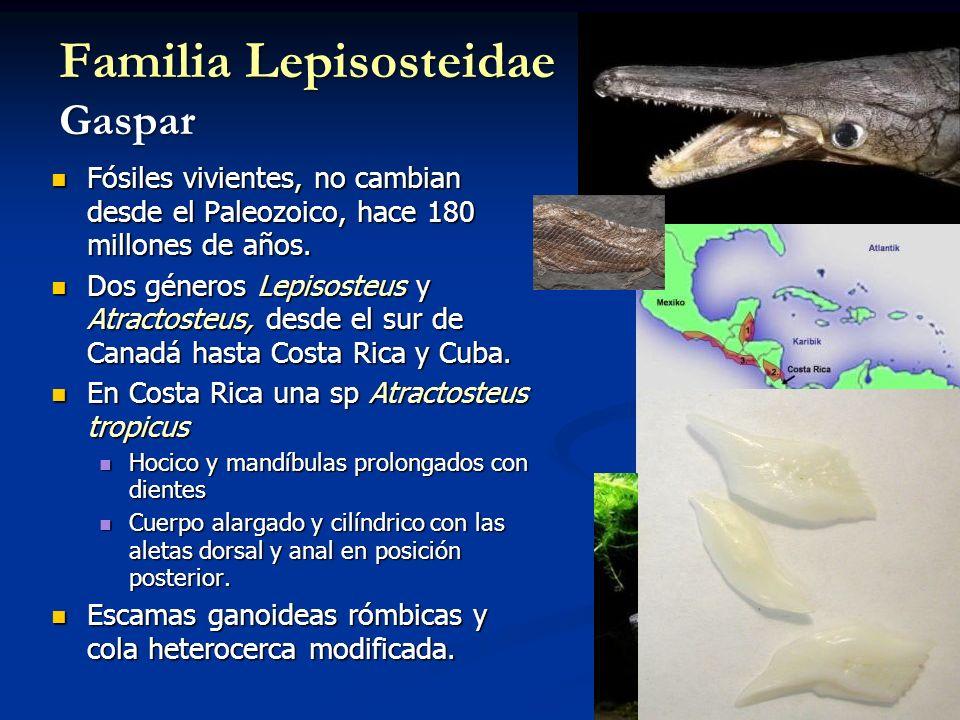 Familia Lepisosteidae Gaspar Fósiles vivientes, no cambian desde el Paleozoico, hace 180 millones de años. Fósiles vivientes, no cambian desde el Pale