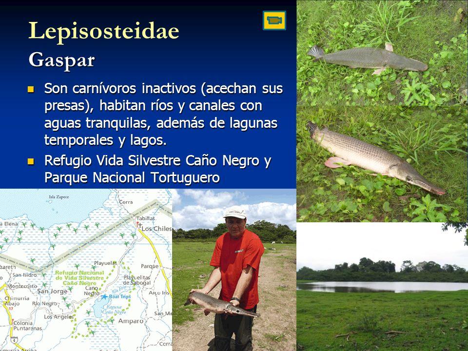 Gaspar Lepisosteidae Gaspar Son carnívoros inactivos (acechan sus presas), habitan ríos y canales con aguas tranquilas, además de lagunas temporales y lagos.
