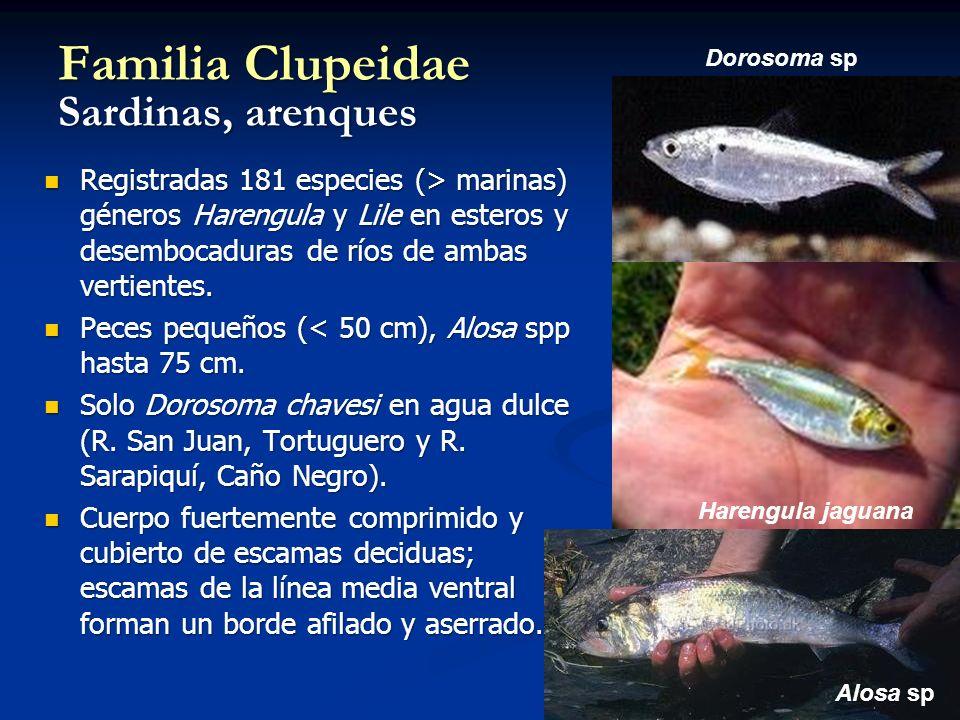 Familia Clupeidae Sardinas, arenques Registradas 181 especies (> marinas) géneros Harengula y Lile en esteros y desembocaduras de ríos de ambas vertientes.