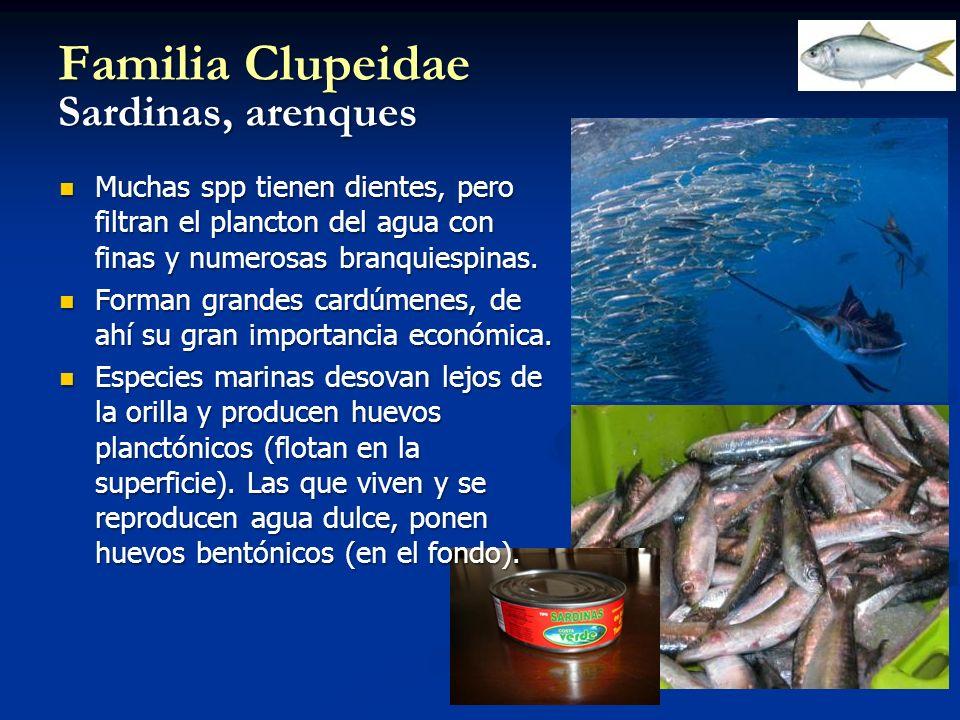 Familia Clupeidae Sardinas, arenques Muchas spp tienen dientes, pero filtran el plancton del agua con finas y numerosas branquiespinas. Muchas spp tie