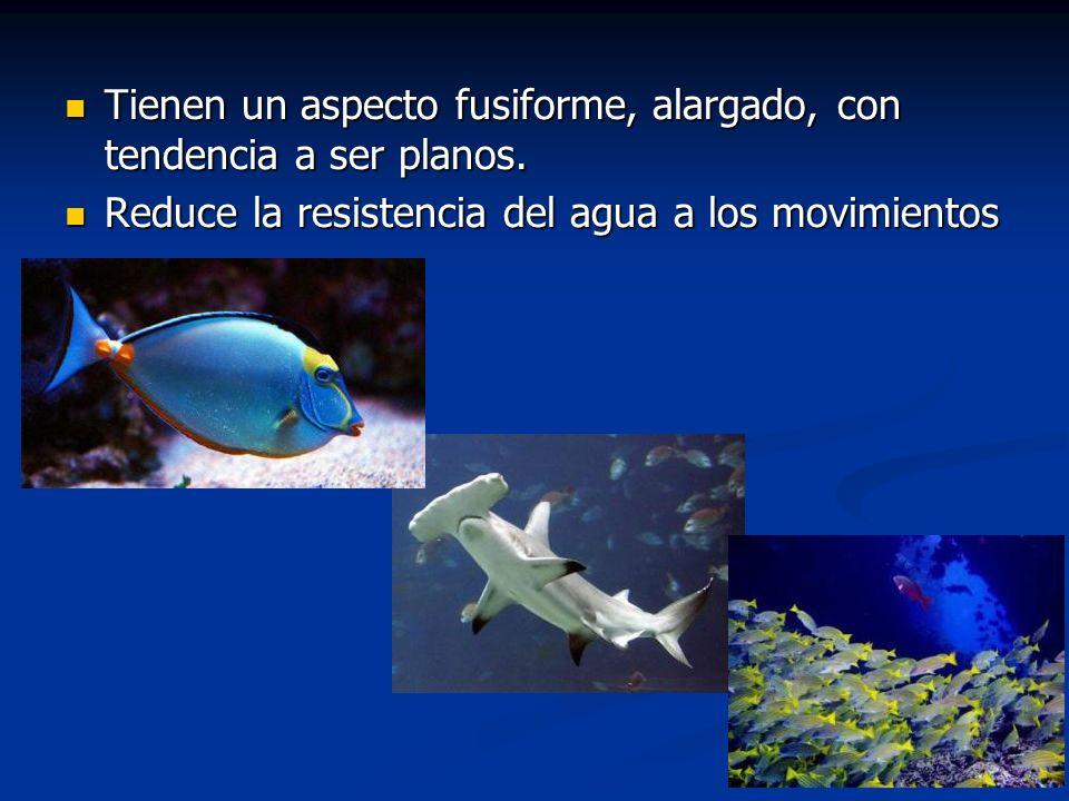 Familia Centropomidae Robalos y gualajes Son peces carnívoros, sobretodo piscívoros que suben considerablemente por los ríos de las dos vertientes.