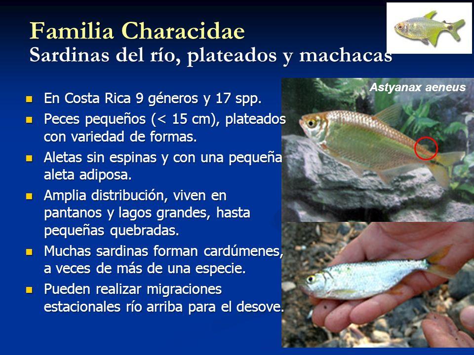Familia Characidae Sardinas del río, plateados y machacas Astyanax aeneus En Costa Rica 9 géneros y 17 spp. En Costa Rica 9 géneros y 17 spp. Peces pe