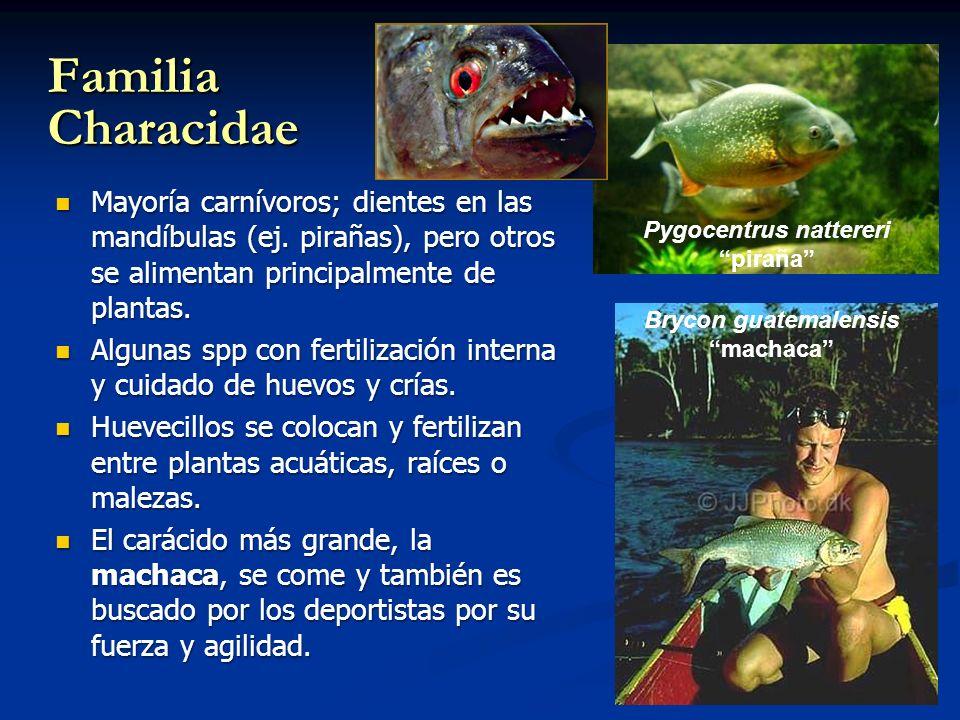 Familia Characidae Mayoría carnívoros; dientes en las mandíbulas (ej. pirañas), pero otros se alimentan principalmente de plantas. Mayoría carnívoros;