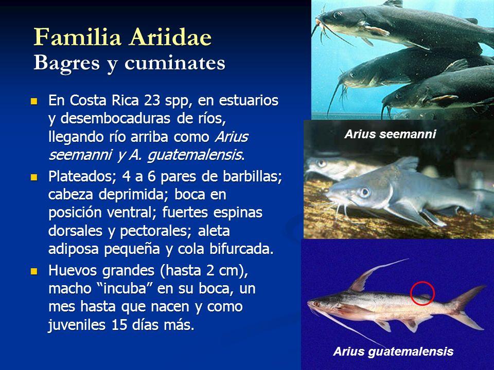 Familia Ariidae Bagres y cuminates En Costa Rica 23 spp, en estuarios y desembocaduras de ríos, llegando río arriba como Arius seemanni y A. guatemale