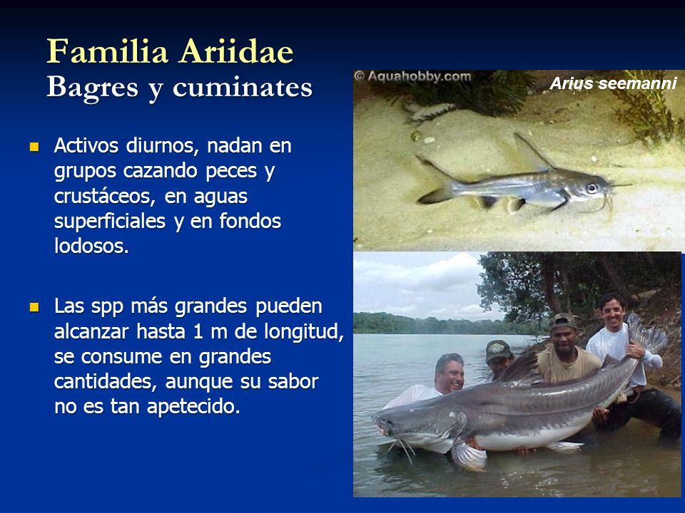 Familia Ariidae Bagres y cuminates Activos diurnos, nadan en grupos cazando peces y crustáceos, en aguas superficiales y en fondos lodosos.
