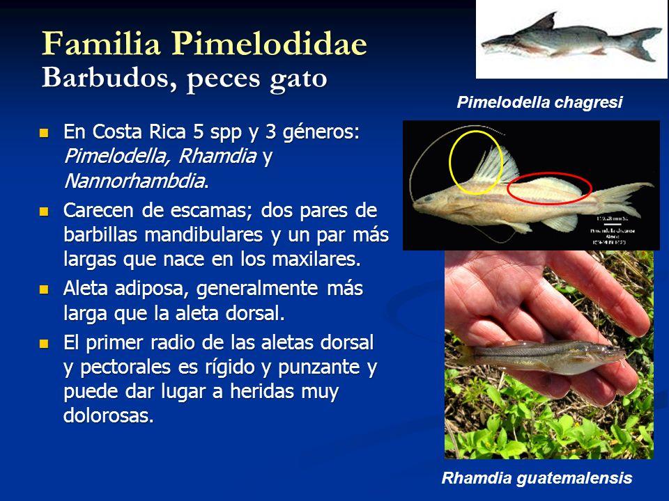 Familia Pimelodidae Barbudos, peces gato En Costa Rica 5 spp y 3 géneros: Pimelodella, Rhamdia y Nannorhambdia. En Costa Rica 5 spp y 3 géneros: Pimel