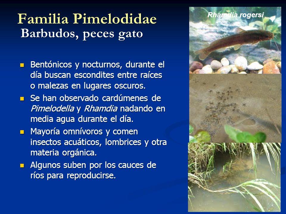 Familia Pimelodidae Barbudos, peces gato Bentónicos y nocturnos, durante el día buscan escondites entre raíces o malezas en lugares oscuros.