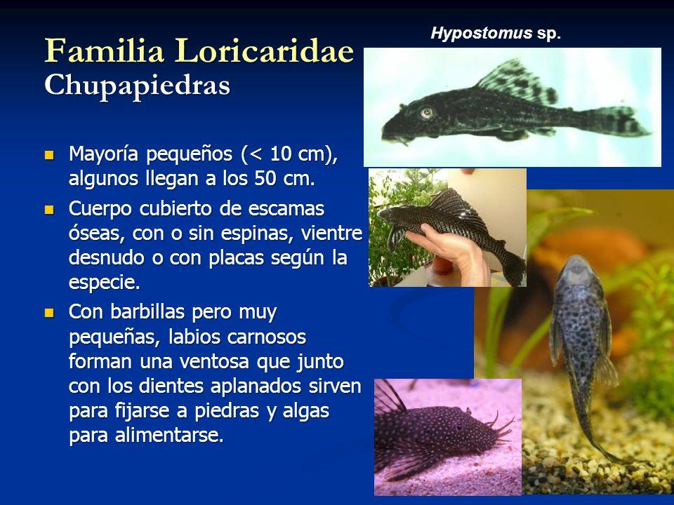 Familia Loricaridae Chupapiedras Mayoría pequeños (< 10 cm), algunos llegan a los 50 cm. Mayoría pequeños (< 10 cm), algunos llegan a los 50 cm. Cuerp