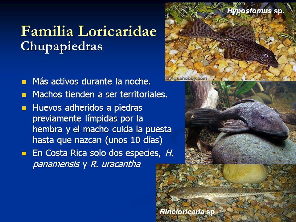 Rineloricaria sp. Hypostomus sp. Familia Loricaridae Chupapiedras Más activos durante la noche. Más activos durante la noche. Machos tienden a ser ter