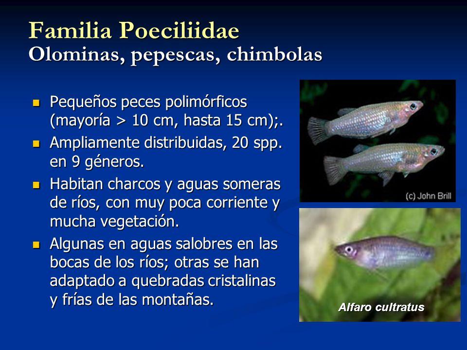 Familia Poeciliidae Olominas, pepescas, chimbolas Pequeños peces polimórficos (mayoría > 10 cm, hasta 15 cm);. Pequeños peces polimórficos (mayoría >