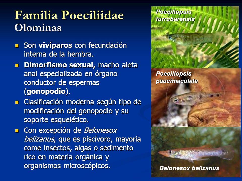 Familia Poeciliidae Olominas Son vivíparos con fecundación interna de la hembra. Son vivíparos con fecundación interna de la hembra. Dimorfismo sexual