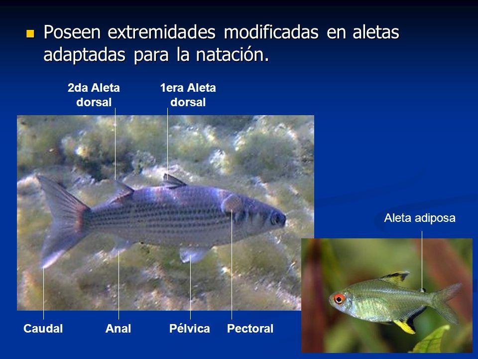 Familia Carangidae Jureles, pómpanos y caballas Familia cosmopolita, en todos los mares templados y tropicales del mundo.
