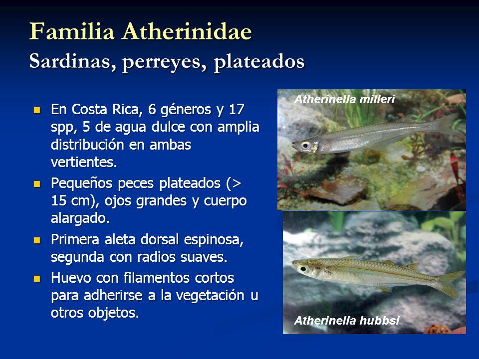 Familia Atherinidae Sardinas, perreyes, plateados En Costa Rica, 6 géneros y 17 spp, 5 de agua dulce con amplia distribución en ambas vertientes. En C