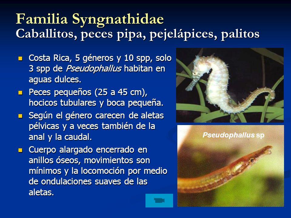 Familia Syngnathidae Caballitos, peces pipa, pejelápices, palitos Costa Rica, 5 géneros y 10 spp, solo 3 spp de Pseudophallus habitan en aguas dulces.